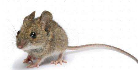 У світловодських мишей виявили лептоспіроз і туляремію, вживатимуться протиепідемічні заходи