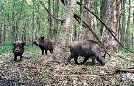 Кіровоградська обласна рада може передати в приватні руки понад три тисячі гектарів мисливських угідь
