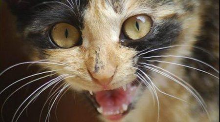 У Кропивницькому підтверджено другий випадок сказу в домашнього кота