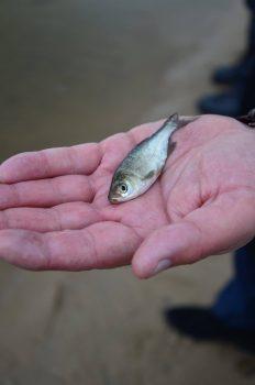 На Кіровоградщині зарибили мальком риб-меліорантів акваторію Південного Бугу. ФОТО