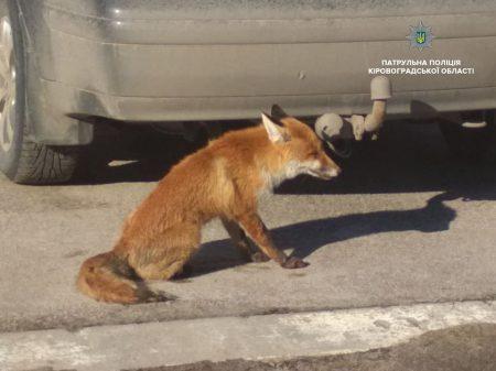"""У Кропивницькому патрульні """"затримали"""" лисицю. ФОТО"""