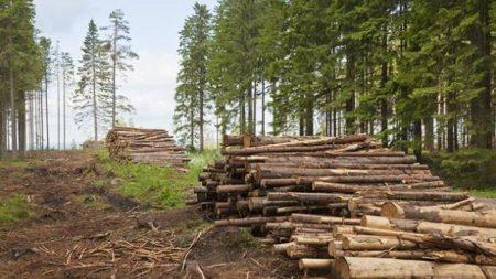 На Кіровоградщині зафіксовано 13 випадків незаконної вирубки лісопосадок