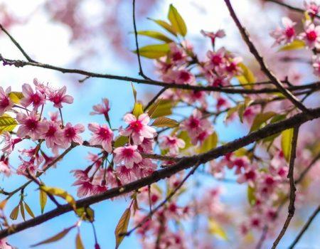 Посольство Японії в Україні готове надати саджанці сакури Кропивницькому