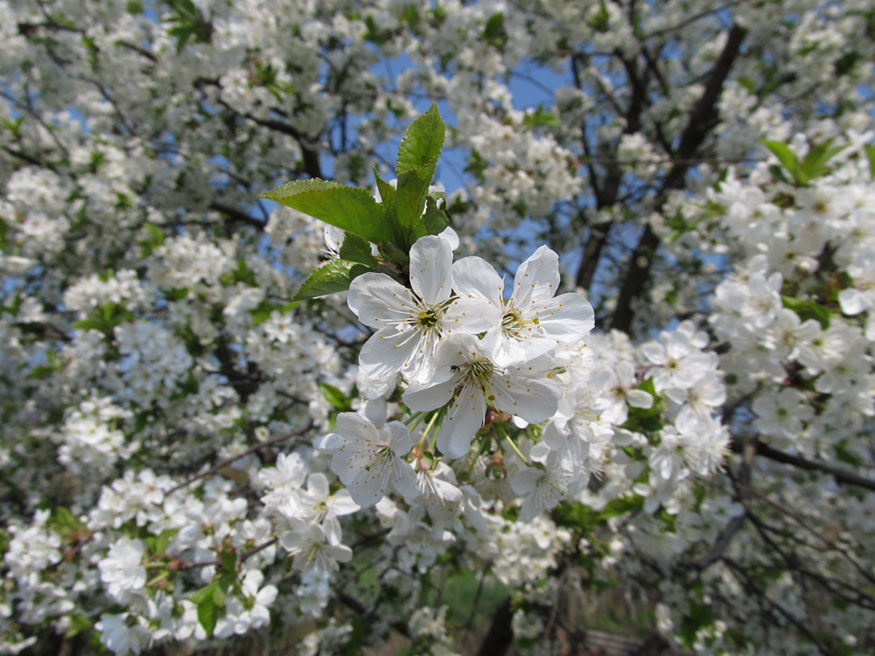 Без Купюр У Кропивницькому влада нарешті не лише пилятиме, а й висаджуватиме дерева Життя  Кропивницький висадка дерев