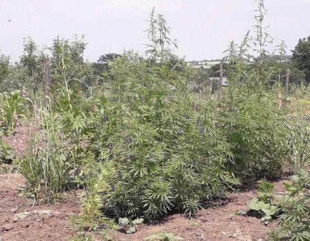 На Кіровоградщини поліцейські вилучили понад дві сотні нарковмісних рослин