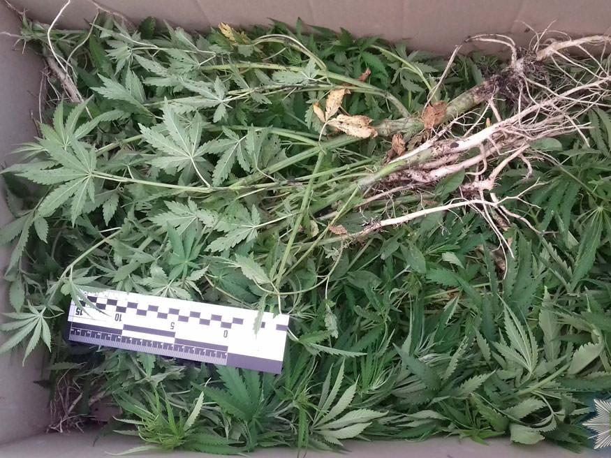 Без Купюр На Кіровоградщини поліцейські вилучили понад дві сотні нарковмісних рослин Кримінал  поліція наркотики Кіровоградщина