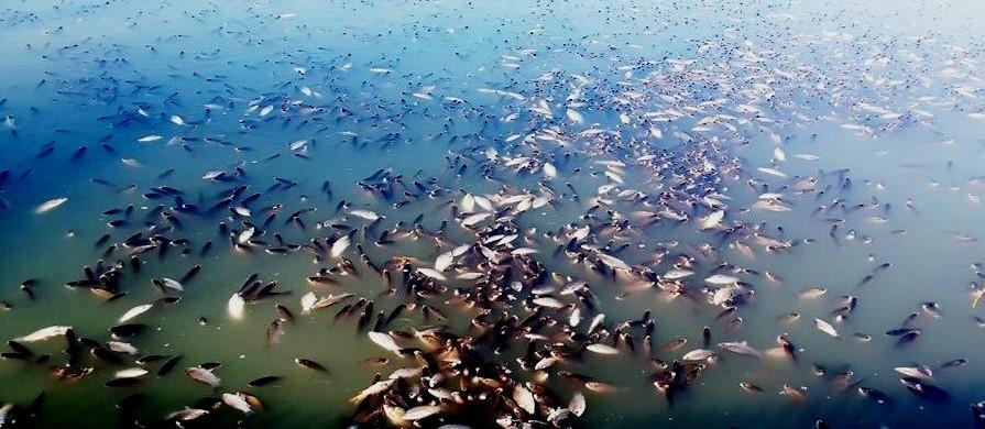 Рибалки: 6-7 кілометрів поверхні річки Березівки, від Устинівки до Сонцевого, вкриті мертвою рибою. ОНОВЛЮЄТЬСЯ - 1 - Події - Без Купюр