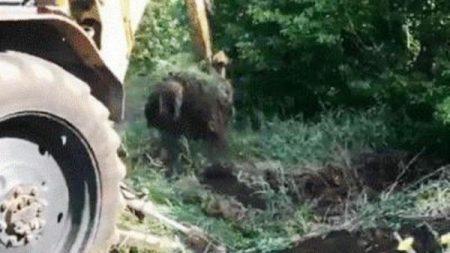 Держпродспоживслужба захоронила рештки великої рогатої худоби, знайдені в Кропивницькиму