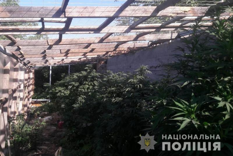 Без Купюр Поліцейські виявили у жителя Кропивницького теплицю з коноплею Кримінал  поліція Кропивницький конопля