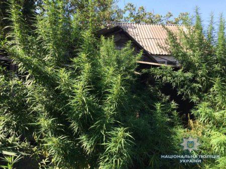 Житель Маловисківського району виростив та насушив коноплі на 750 тисяч гривень. ФОТО