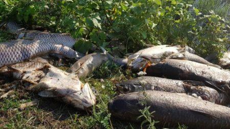 Мор риби в Устинівському районі: громада працює, чиновники – звітують?