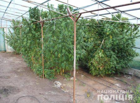 У Кропивницькому поліцейські виявили коноплі на мільйон гривень