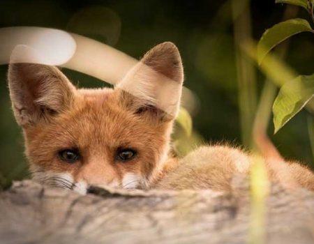 На Кіровоградщині скидатимуть з літака вакцину проти сказу диких тварин