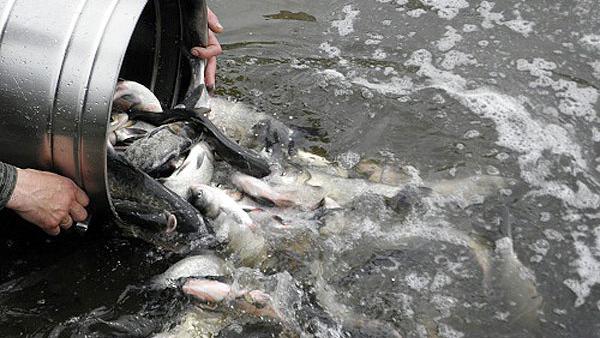 Короп і товстолоб: у Бурштинське море випустять майже сім тонн риби