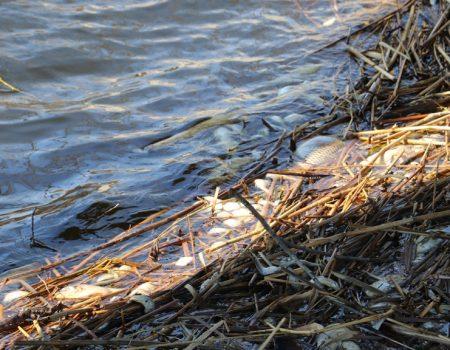 На Кіровоградщині зариблювачі підозрюють, що до масового мору риби причетна свиноферма екс-голови ОДА