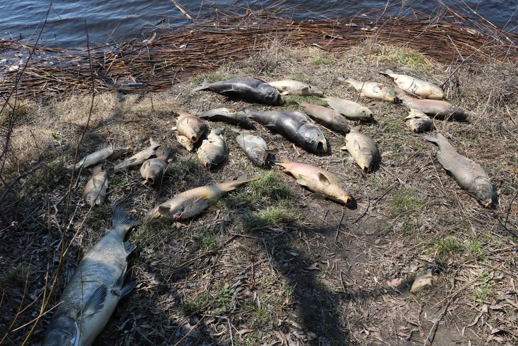 На Кіровоградщині зариблювачі підозрюють, що до масового мору риби причетна свиноферма екс-голови ОДА - 1 - Найважливiше - Без Купюр