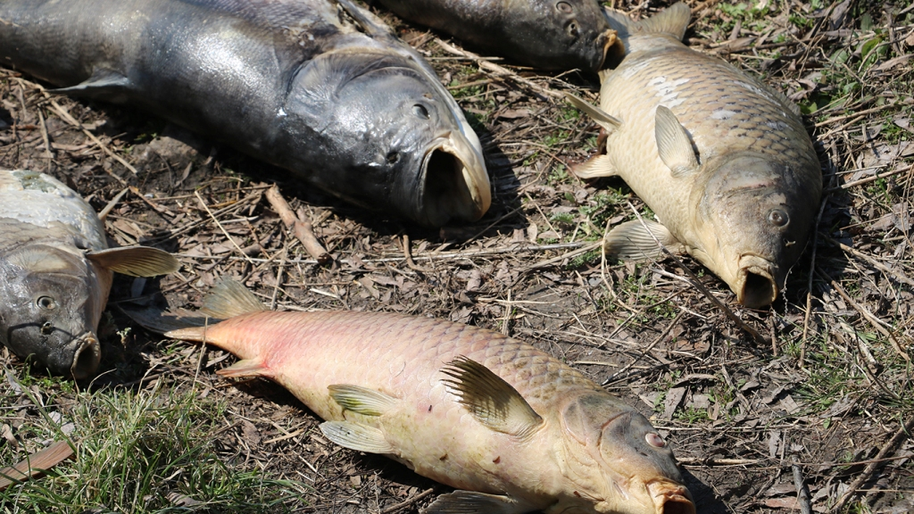 На Кіровоградщині зариблювачі підозрюють, що до масового мору риби причетна свиноферма екс-голови ОДА - 11 - Найважливiше - Без Купюр