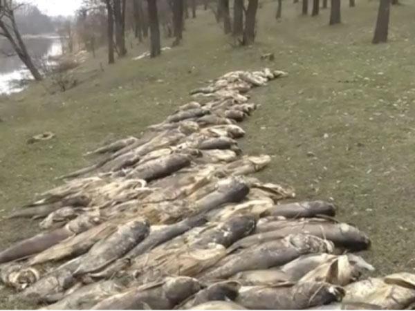 Без Купюр Встановлено фактори, які могли призвести до загибелі риби в місті Олександрія Життя  Олександрія Кіровоградщина загибель риби