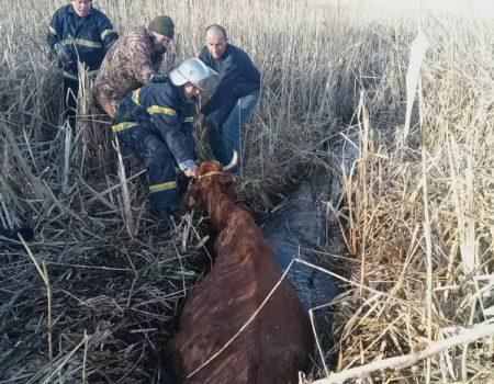 На Кіровоградщини рятувальники витягнули корову з трясовини