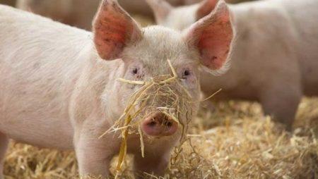 На Кіровоградщині ліквідовують спалах африканської чуми свиней