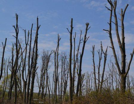 Журналісти й активісти Кропивницького започаткували проект проти варварської обрізки дерев