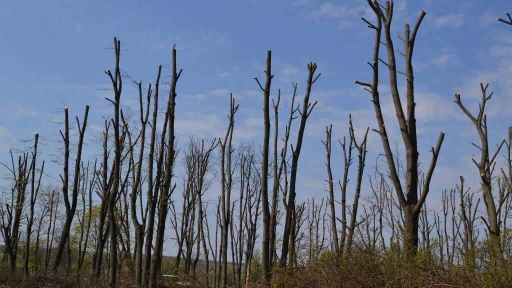 Без Купюр Журналісти й активісти Кропивницького започаткували проект проти варварської обрізки дерев Проекти  чомусь не відросло Кропивницький