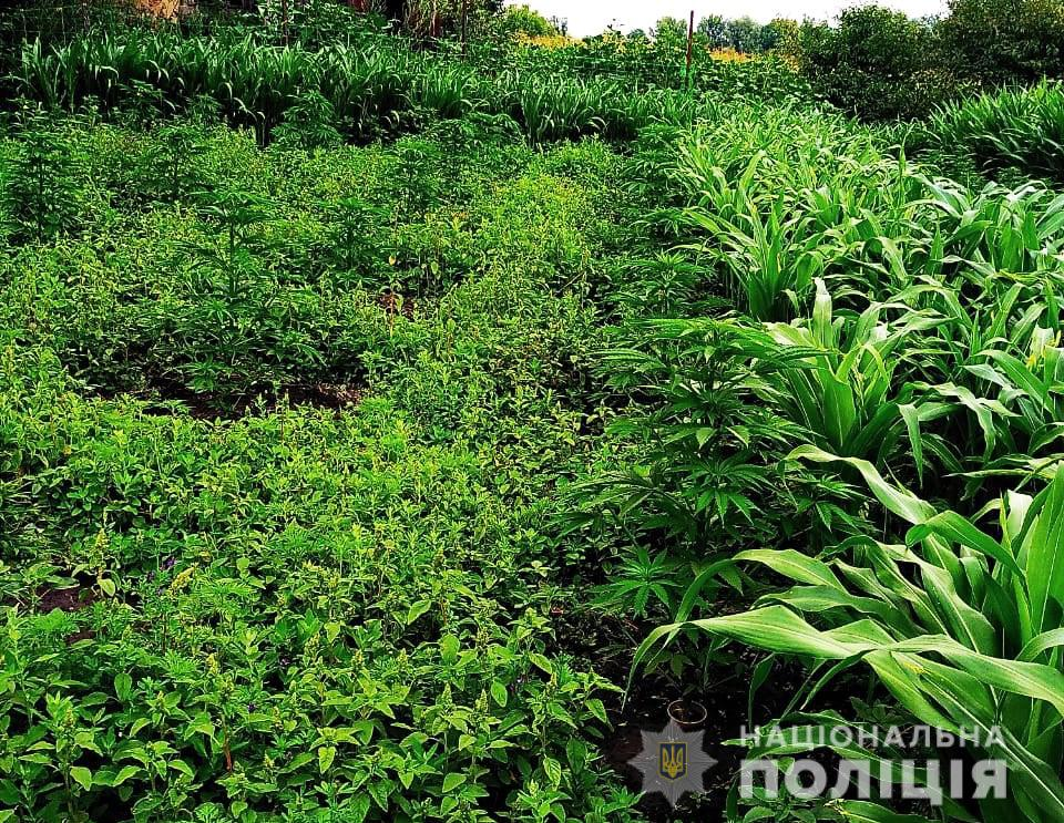 У жителя області поліція вилучила кілька сотень нарковмісних рослин. ФОТО - 1 - Кримінал - Без Купюр
