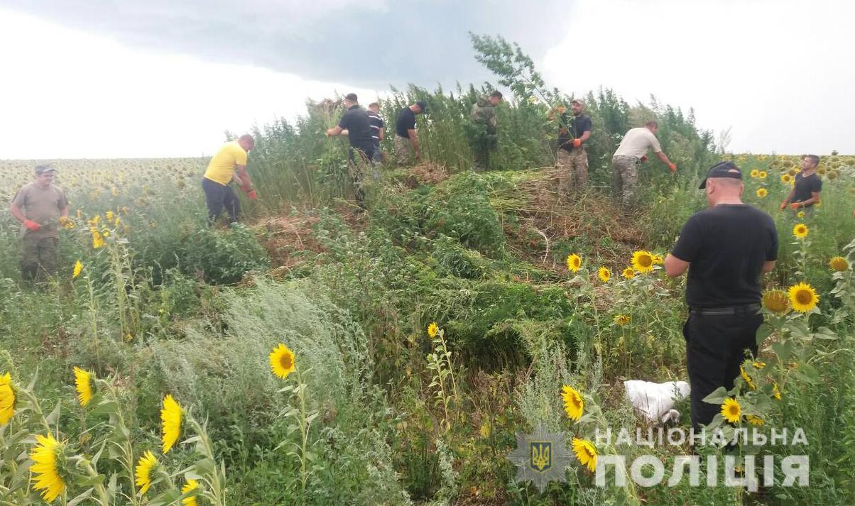 На Кіровоградщині поліцейські виявили поле коноплі на 3 мільйони гривень. ВІДЕО - 1 - Кримінал - Без Купюр