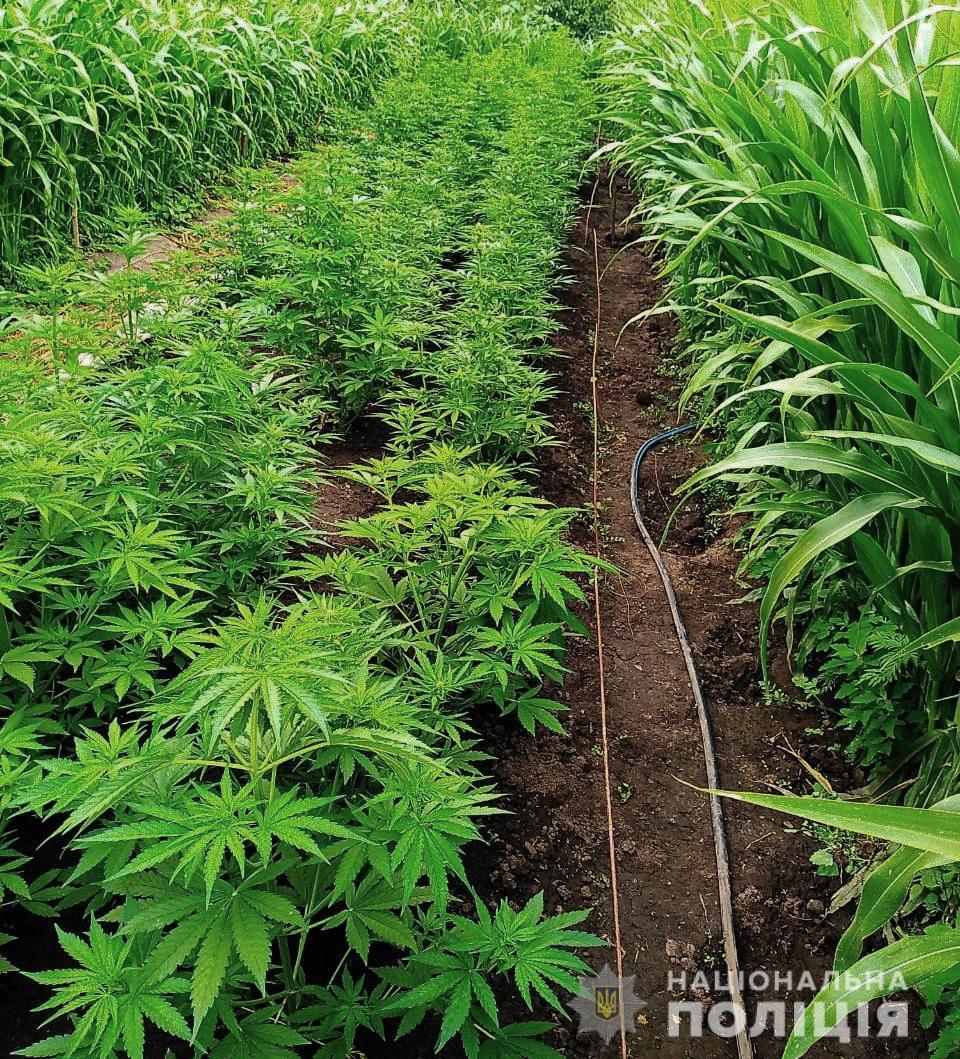 Без Купюр У жителя області поліція вилучила кілька сотень нарковмісних рослин. ФОТО Кримінал  поліція операція мак Гайворон