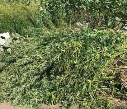 На Кіровоградщині поліцейські виявили плантацію коноплі. ФОТО