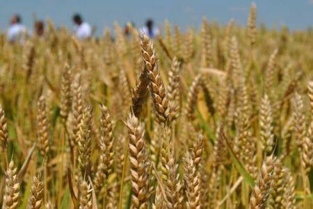 На Кіровоградщині вже зібрали 755 тисяч тонн ранніх зернових