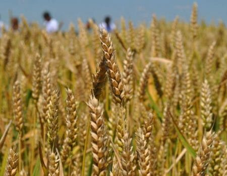 На Кіровоградщині зібрали рекордний урожай ранніх зернових