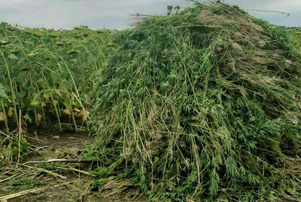 Без Купюр На Кіровоградщині протягом 2 тижнів виявили дві наркоплантації Кримінал  рослини правопорушення поліція Мак Голованівськ