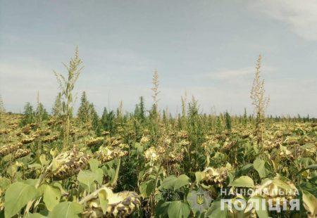Поліцейські виявили 3 тисячі рослин коноплі, які були сховані між рядами соняшнику