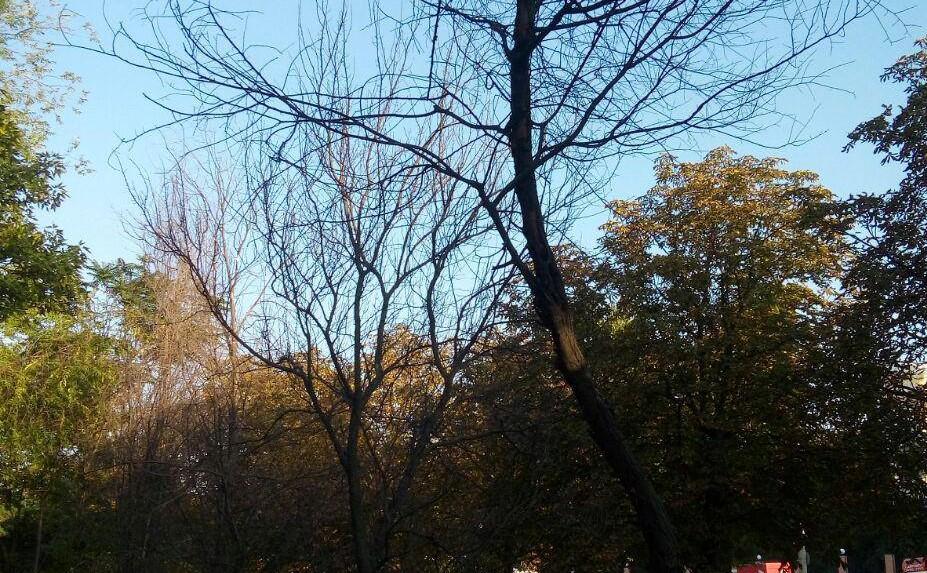 Без Купюр У сквері, землю в якому виділено під будівництво Онулу, раптом почали всихати дерева. ФОТО Життя  Озеленення Кропивницький Микола Онул дерева будівництво