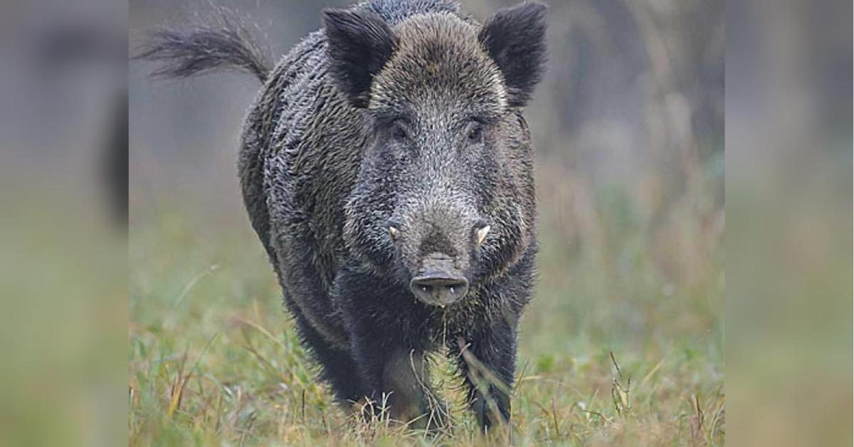 Без Купюр У суботу на Кіровоградщині розпочнеться сезон полювання на диких парнокопитних Життя  сезон полювання парнокопитні
