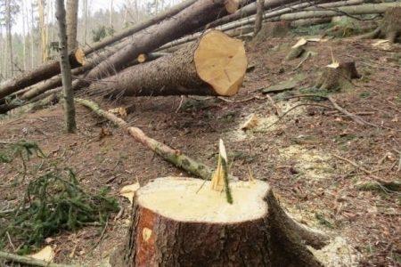 Кіровоградщина: працівники лісництва та «чорні лісоруби» незаконно вирубували ліс