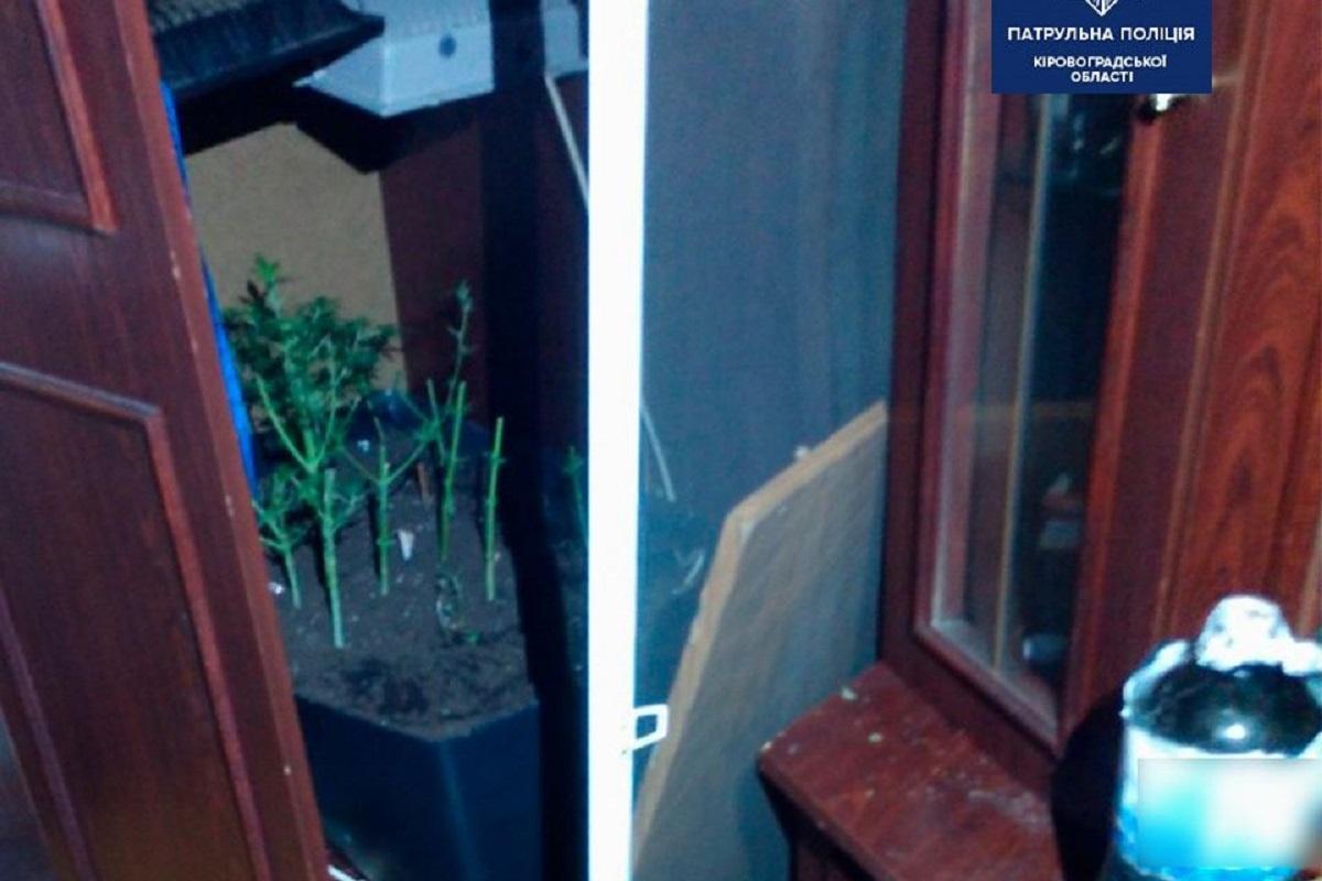 Без Купюр Кропивничанин вирощував вдома коноплю у вазоні Кримінал  Патрульна поліція наркотики Кримінальний кодекс України 2020 рік