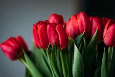На Кіровоградщині до 8 березня виростили півтори тисячі тюльпанів
