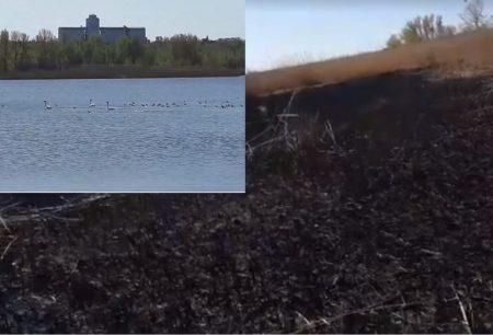 У Кропивницькому спалили очерет, де гніздяться лебеді. ВІДЕО