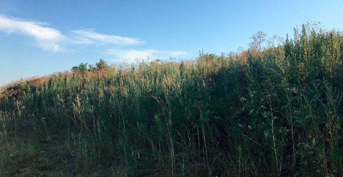Без Купюр На Кіровоградщині поліцейські  знищили більше тисячі рослин конопель Кримінал  плантація коноплі 2020 рік