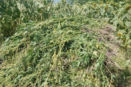 Минулого тижня в області виявили кілька плантацій конопель