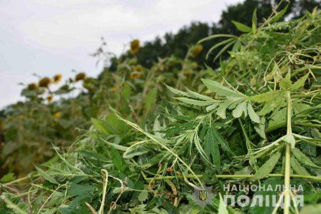 """На Кіровоградщині ліквідували 3 гектара конопель, """"замаскованих"""" під соняшникове поле. ФОТО. ВІДЕО"""