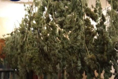 У Кропивницькому в гаражі насушили 8 кілограмів канабіса. ФОТО