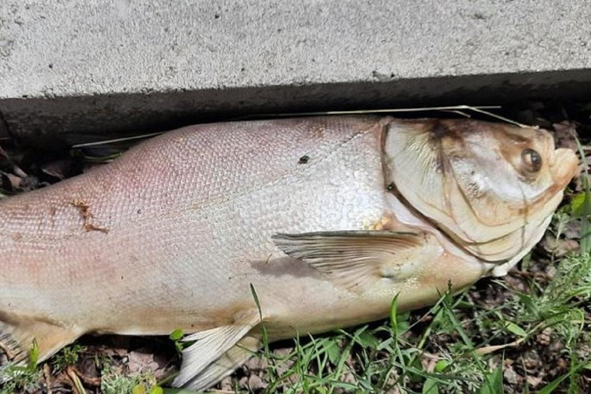 Без Купюр Десятки мертвих товстолобів знайшли на березі Сугоклеї в Кропивницькому Життя  Суспільне Сугоклея 2021 рік