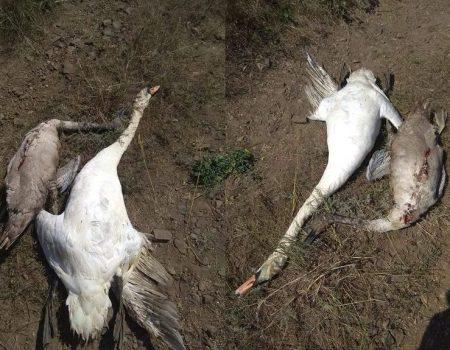 В Олександрійському районі знищили лебедів, поліція відкрила провадження. ФОТО