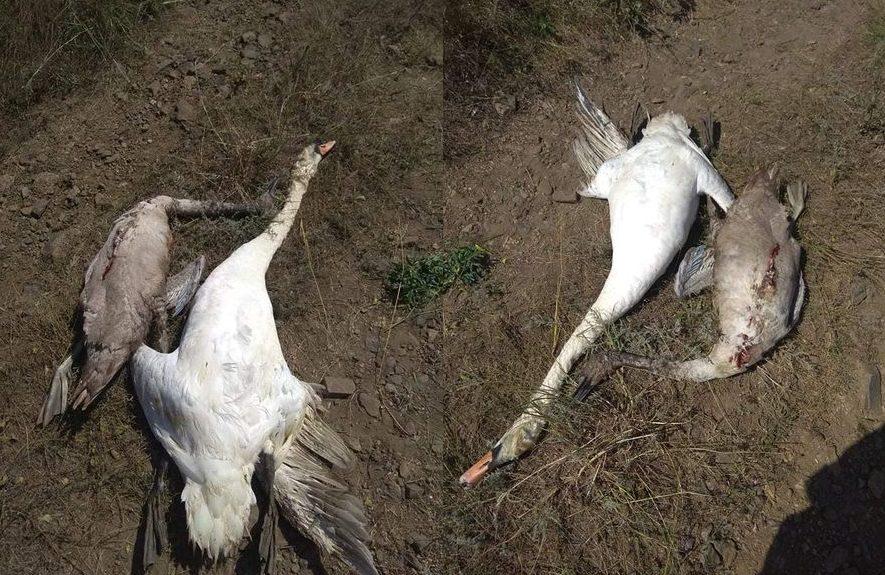 Без Купюр В Олександрійському районі знищили лебедів, поліція відкрила провадження. ФОТО Головне Кримінал  новини лебеді Кіровоградщина 2021 рік